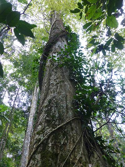 Huge trees.