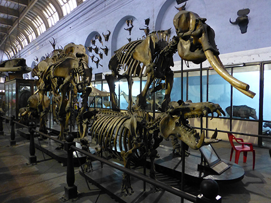 Hippo and Asian Elephant skeletons.
