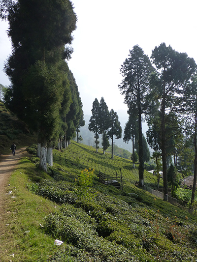View of the tea plants.