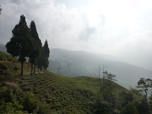 View of a portion of the tea plantation.