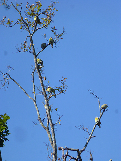 Yellow pigeons.