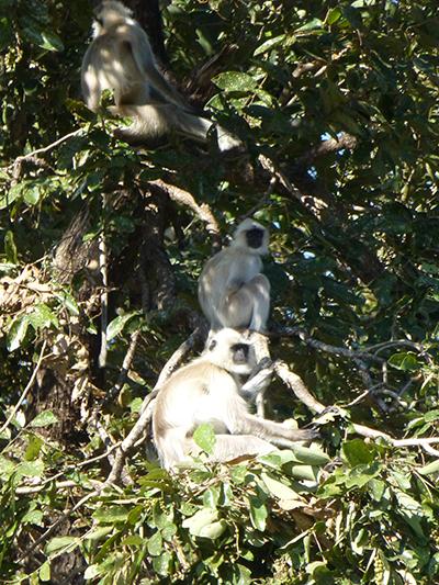 Langure Monkeys