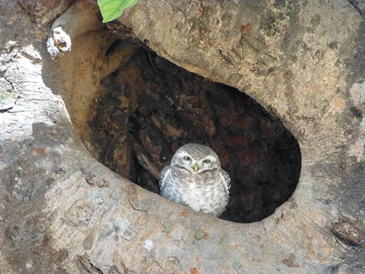 Cute little owl hiding in his tree hole.