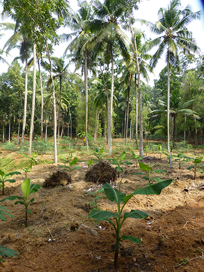 Planting banana and coconut trees.
