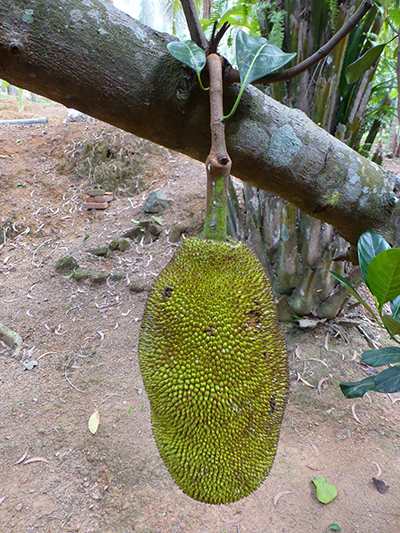 Jack fruit are...