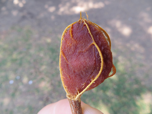 There was a tamarind tree on the grounds and this is a seed with the outer layer off