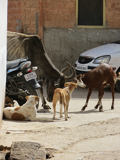 This feisty goat was butting heads with the cow. The dog was observing from a safe distance.