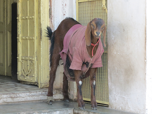 It gets a little chilly in Jodhpur. By the look on his face I think the goat feels a little ridiculous.