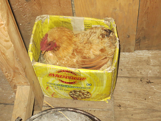 This chicken spent the night with us and kept warm in his box.