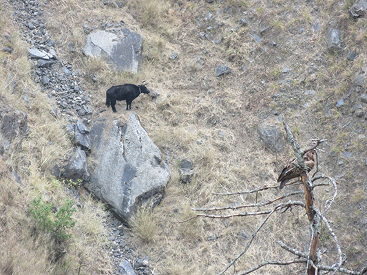 We don't know how this cow got stuck on this rock, everywhere else around it was very steep.