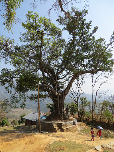 Another bodhi tree.
