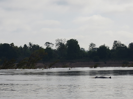The best shot we have of the dolphins. They have short noses, not long like the common dolphins we're used to seeing.